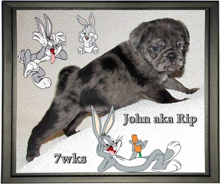 Lady Blue's John/Rip at 7 weeks - Merle Pug Puppies | Dogs are better than human beings because they know but do not tell.