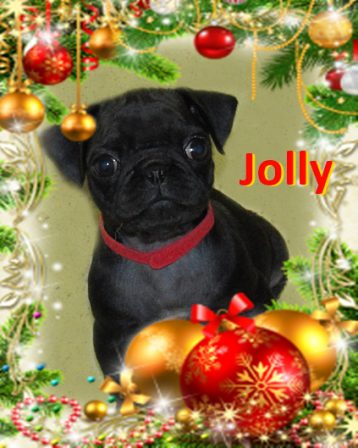 Jolly wants to know if you have been naughty or nice? - Black Pug Puppies | Even the tiniest dog is lionhearted, ready to do anything to defend home and family.