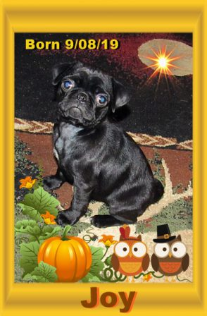 Such a Joy to the World! - Black Pug Puppies | The average dog is a nicer person than the average person.