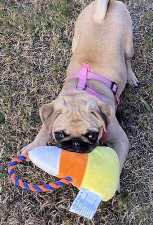 Karlie loves to play! - Apricot Pug Puppies | Old dogs, like old shoes, are comfortable. They might be a bit out of shape and a little worn around the edges, but they fit well.