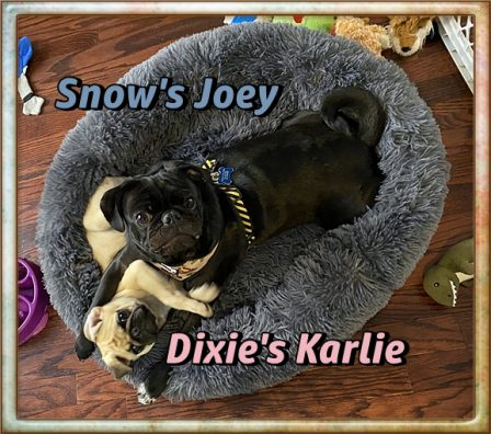 Joey loves his new BFF Karlie! - Multiple Color Pugs - Puppies and Adults | If dogs could talk, perhaps we would find it as hard to get along with them as we do with people.