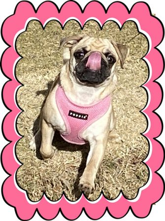 Karli's tongue and harness are the same color - Fawn Pug Puppies | Even the tiniest dog is lionhearted, ready to do anything to defend home and family.