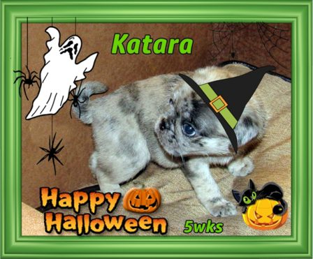 "Katara says ""I ain't afraid of no ghost""! - Merle Pug Puppies 