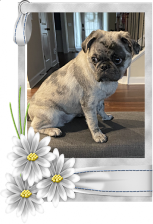 Maggie's and Moody Blue's Katara/Brooklyn - Merle Pug Puppies | When a man's best friend is his dog, that dog has a problem.
