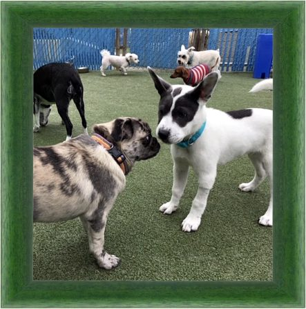 I have so many friends at Doggie Day Care! - Merle Pug Puppies | The more people I meet, the more I love my dog.