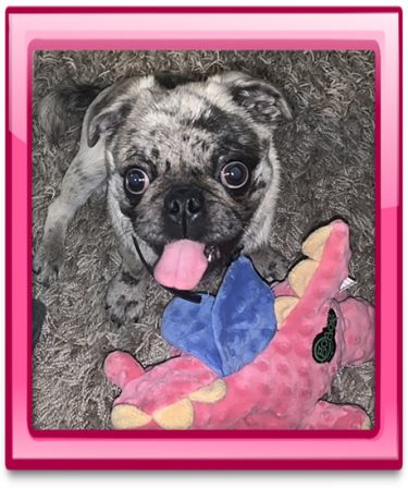 I am a happy girl and am quite pretty! - Merle Pug Puppies | A dog is the only thing that can mend a crack in your broken heart.