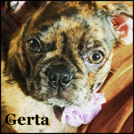 April's & Mu's Lagertha aka Gerta - Merle Pug Puppies | The dog was created specially for children. He is the god of frolic.