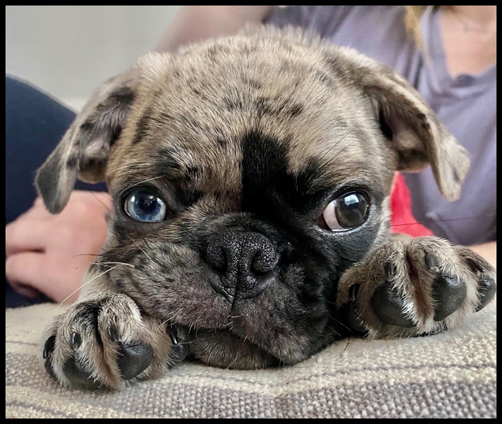 Cocoa's/Moody Blue's Legolas/Po – only BRP pug to have a blue eye