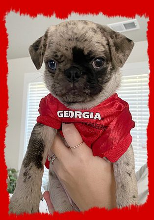 Ann's & Thomas' heterochromatic Legolas/Po - Merle Pug Puppies | What counts is not necessarily the size of the dog in the fight, it's the size of the fight in the dog.