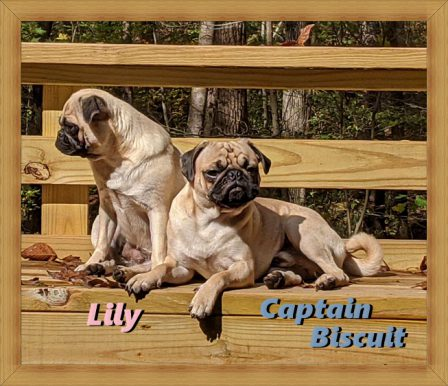 Janet/Lily and Sam/Captain Biscuit from Blue Ridge Pugs - Adult Fawn Pug | Do not make the mistake of treating your dogs like humans or they will treat you like dogs.