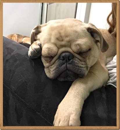 Puddin's/Aiken's Ling aka Gary - Fawn Pug Puppies | If you think dogs can't count, try putting three dog biscuits in your pocket and give him only two of them.