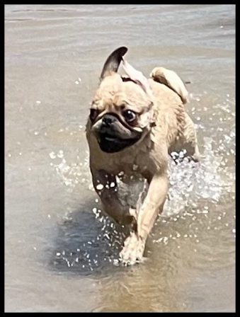 Gary loves the water can you tell? - Fawn Pug Puppies | The average dog is a nicer person than the average person.