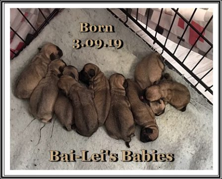 Can you believe it - NINE puppies! - Fawn Pug Puppies | A dog is one of the remaining reasons why some people can be persuaded to go for a walk.