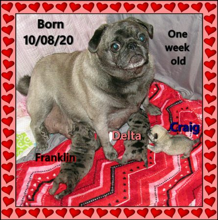 Cinder's last Great Hurrah! - Multiple Color Pugs Puppies | I think we are drawn to dogs because they are the uninhibited creatures we might be if we weren't certain we knew better.
