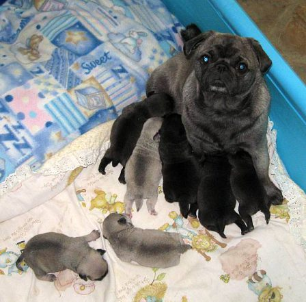 The seven dwarfs - I mean puglets! - Multiple Color Pugs Puppies | No one appreciates the very special genius of your conversation as the dog does.