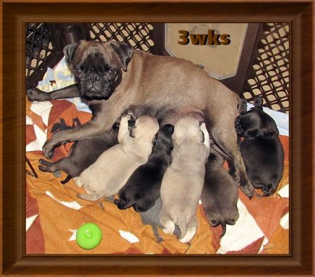 Cocoa is BRP's first chocolate and she had three choco puppies - Multiple Color Pugs Puppies | The one absolutely unselfish friend that man can have in this selfish world, the one that never deserts him, the one that never proves ungrateful or treacherous, is his dog.
