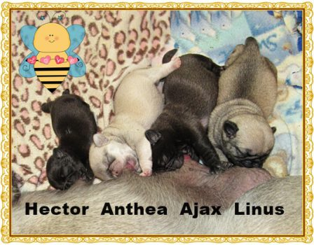 Black, Chinchilla, Platinum, Fawn - Multiple Color Pugs Puppies | If dogs could talk, perhaps we would find it as hard to get along with them as we do with people.