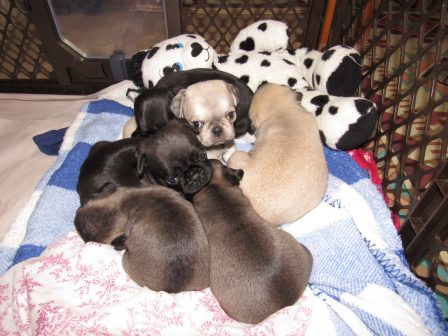 Not hard to see Cocoa's chocolate puppies here! - Multiple Color Pugs Puppies | A dog will teach you unconditional love, if you can have that in your life, things won't be too bad.