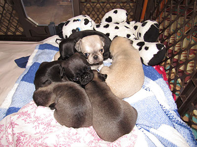 Not hard to see Cocoa's chocolate puppies here!