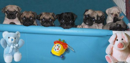 Rub a dub dub 8 pugs in a tub - Multiple Color Pugs Puppies | The dog has got more fun out of man than man has got out of the dog, for man is the more laughable of the two animals.