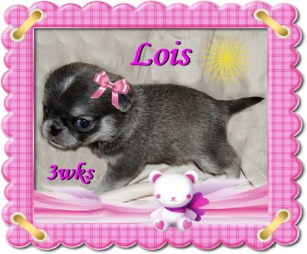 Lady Blue's Lois - BRP's most unique color ever - Multiple Color Pugs Puppies | The dog is a gentleman; I hope to go to his heaven not man's.