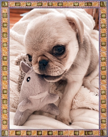 Can't get enough of this cutie pug!