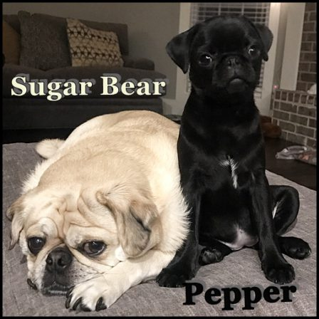 Sugar Bear Loves Pepper! - Multiple Color Pugs - Puppies and Adults | A dog is one of the remaining reasons why some people can be persuaded to go for a walk.
