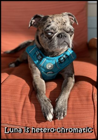 Carli & Zack's Luna, a hetero-chromatic blue merle bugg - Adult Merle Pug | No matter how little money and how few possessions you own, having a dog makes you rich.