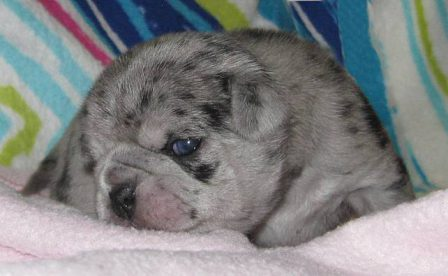 Luna Blue - bright blue eyes - Merle Pug Puppies | If you pick up a starving dog and make him prosperous he will not bite you. This is the principal difference between a dog and man.