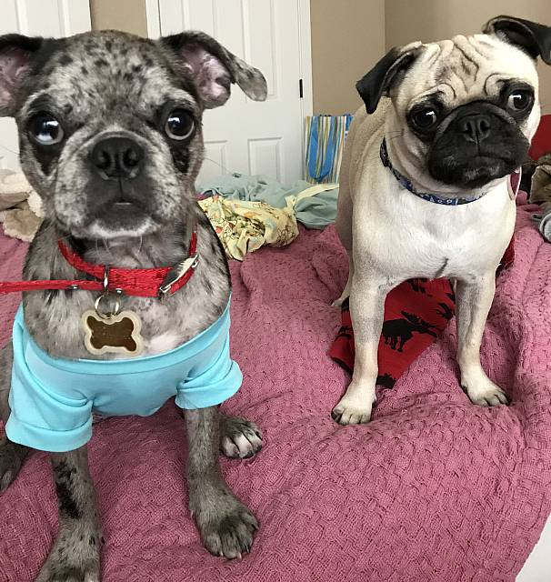 Casey a blue merle bugg and Juno a fawn pug