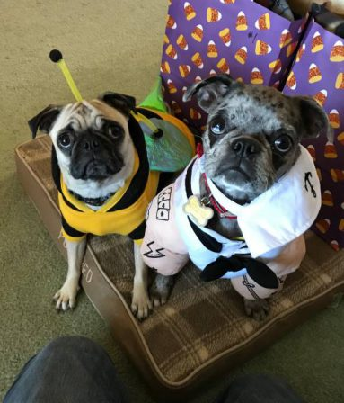 Happy Halloween from a Pug and a Bugg - Adult Multiple Color Pugs | Even the tiniest dog is lionhearted, ready to do anything to defend home and family.