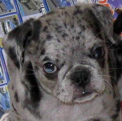 Have you ever seen a blue merle Bugg with 1/3 blue eye?