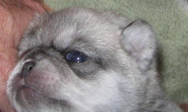 Maggie Alexi, Chinchilla Pug Puppy