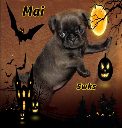 Love is kind of crazy with a spooky little girl like Mai! - Silver Pug Puppies | Petting, scratching, and cuddling a dog could be as soothing to the mind and heart as deep meditation and almost as good for the soul as prayer.