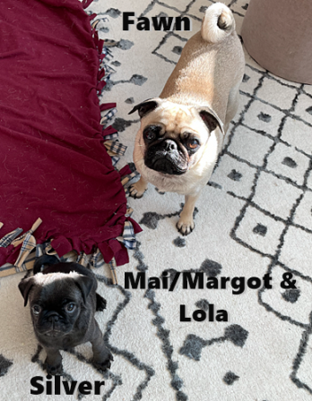 We have become fast friends - Multiple Color Pugs - Puppies and Adults | If your dog doesn't like someone you probably shouldn't either.