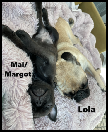 We play hard and sleep hard! - Silver Pug - Puppies and Adults | You really have to be some kind of a creep for a dog to reject you.