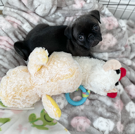 Maggie's & Moody Blue's Mai/Margot - Silver Pug Puppies | One of the happiest sights in the world comes when a lost dog is reunited with a master he loves.