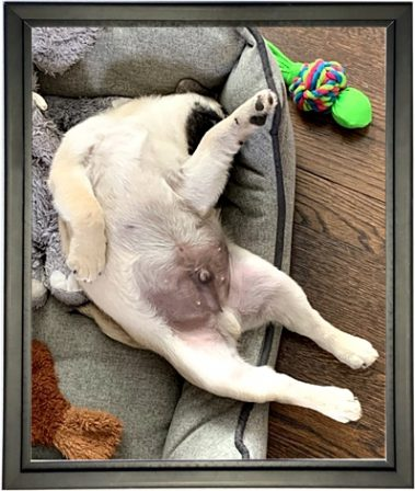 Malcolm/Bean's favorite sleeping position - Fawn Pug Puppies | Money will buy you a pretty good dog, but it won't buy the wag of his tail.