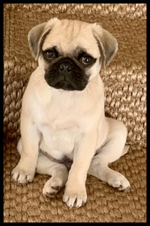 Lady Blue's & Sterling's boy Malcolm aka Bean - Fawn Pug Puppies | The dog was created specially for children. He is the god of frolic.