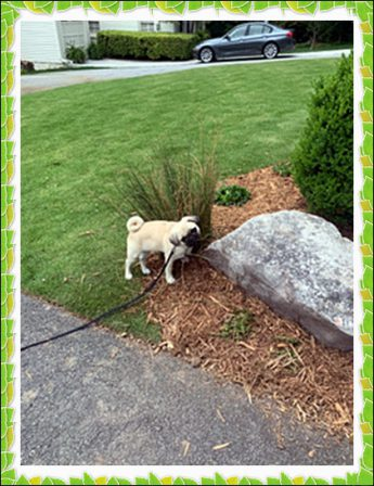 Malcolm/Bean is helping mom Libby water the flowers - Fawn Pug Puppies | If you don't own a dog, at least one, there is not necessarily anything wrong with you, but there may be something wrong with your life.