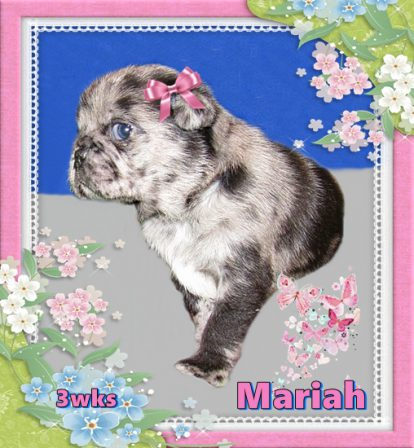 BRP's first blue merle puppy. - Merle Pug Puppies | Don't accept your dog's admiration as conclusive evidence that you are wonderful.