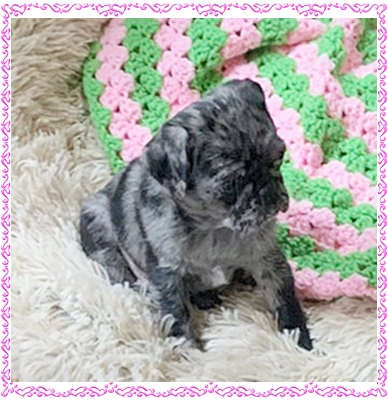 Princess Willow aka Mariah settled into her new home. - Merle Pug Puppies | The dog has got more fun out of man than man has got out of the dog, for man is the more laughable of the two animals.