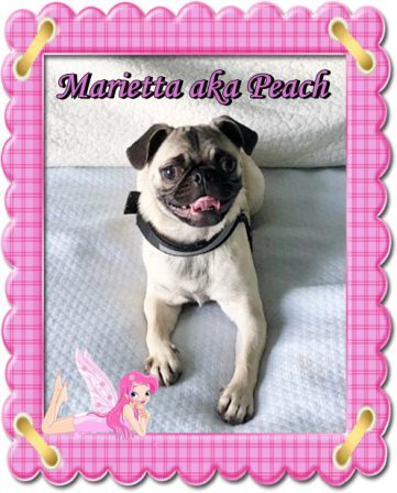 Georgia Doss loves Peach - Fawn Pug Puppies | The average dog is a nicer person than the average person.