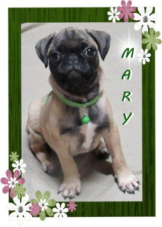 How cute can a pug get? - Fawn Pug Puppies | If you pick up a starving dog and make him prosperous he will not bite you. This is the principal difference between a dog and man.