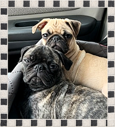 Debbi's and Shannon's Girls Faith and Lily - Multiple Color Pugs Puppies | If dogs could talk, perhaps we would find it as hard to get along with them as we do with people.