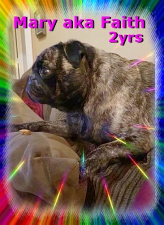 Happy 2nd Birthday, Mary/Faith! - Adult Brindle Pug | If a dog will not come to you after having looked you in the face, you should go home and examine your conscience.