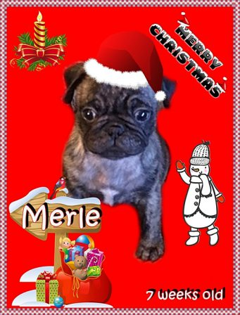 Merry Christmas, Dude! - Brindle Pug Puppies | Don't accept your dog's admiration as conclusive evidence that you are wonderful.