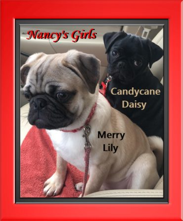 Day and Night Beauties from Blue Ridge Pugs - Multiple Color Pugs Puppies | Petting, scratching, and cuddling a dog could be as soothing to the mind and heart as deep meditation and almost as good for the soul as prayer.