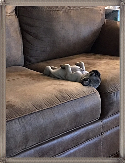 The Life of a Pug!