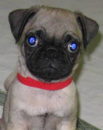 My name is Moe - Fawn Pug Puppies | If you think dogs can't count, try putting three dog biscuits in your pocket and give him only two of them.